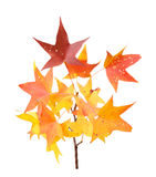 Fall leaves of sweet gum isolated on white Royalty Free Stock Photos