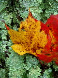 Fall leaves on tree. Colorful fall leaves on a tree with green moss Royalty Free Stock Photo