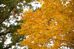 Fall leaves on tree Royalty Free Stock Photos