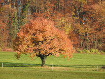 Fall leaves in the tree. Autumn leaves strewn in the tree Stock Images