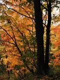 Fall Leaves on Tree in Forest stock images