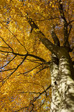 Fall leaves on tree Royalty Free Stock Images