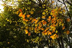 Fall leaves of tree royalty free stock photo