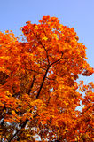 Fall leaves on a tree Royalty Free Stock Photography