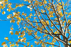 Fall leaves on a tree Stock Image