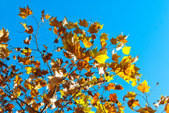 Fall leaves on a tree Stock Photo