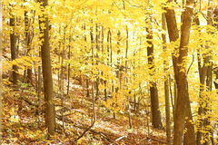Fall leaves on the trees 1. Bright Yellow fall leaves on trees in a forest Stock Photo