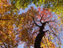 Fall leaves in trees Royalty Free Stock Images