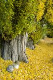 Fall leaves trees Royalty Free Stock Image