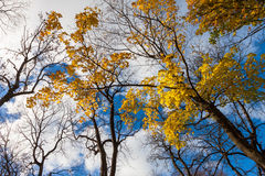 Fall leaves trees Royalty Free Stock Photography