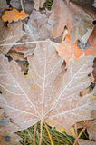 Fall leaves under hoarfost Royalty Free Stock Image