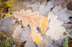 Fall leaves under hoarfost Stock Photos