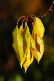 Fall leaves - very SHARP Royalty Free Stock Images