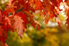 Fall leaves- Vibrant Autumn Colors in park. Beautiful red colored fall leaves of deciduous tree in park Stock Photos