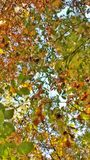 Fall leaves. View from below of tall tree with autumn color leaves Stock Photos