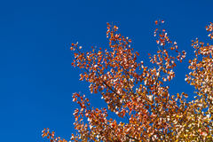 Fall Leaves and Vivid Blue Sky Royalty Free Stock Images