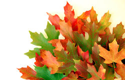 Fall Leaves on White. Autumn leaves on white background on border of photo Royalty Free Stock Photo