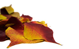 Fall Leaves on White. Red, yellow and orange fall leaves on a white background Royalty Free Stock Photos