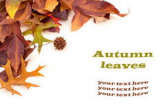 Fall Leaves on White Background with Copyspace or Room Space for your words or text, horizontal. Stock Photo