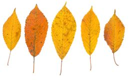 fall leaves on white background. Royalty Free Stock Photography
