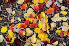 Fall leaves and woodchips on the backyard ground Royalty Free Stock Image