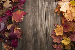 Fall leaves with wooden background. Beautiful colors of the fall. Maple tree leaves off the tree on a barn wood background Stock Photography