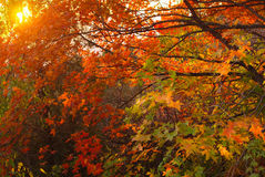 Fall leaves. Yellow,red and green leaves fall maple leaves in sunset Stock Photos
