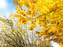Fall Light in the Tree Branches with Colorful Yellow Leaves Royalty Free Stock Photography