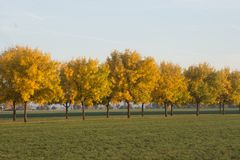 Fall Lineup. A line of golden trees in the fall stock photography