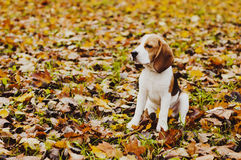 Fall and little Beagle Stock Photo