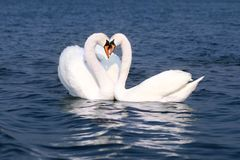 Fall in love. Swans fall in love Stock Photo