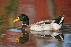 Fall Mallard Royalty Free Stock Image