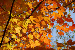 Fall maple Stock Photography