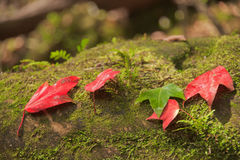 Fall maple. Royalty Free Stock Photography