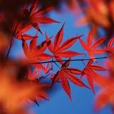Fall maple royalty free stock photos