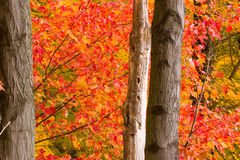 Fall Maple. Maple trees in full fall colors royalty free stock photography