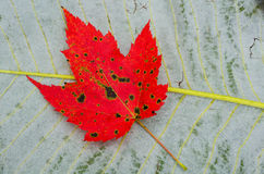 Fall maple against big leaf magnolia. A red maple leaf rests upon a big leaf magnolia Royalty Free Stock Images
