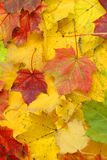 Fall maple foliage Royalty Free Stock Image