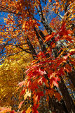 Fall maple forest Royalty Free Stock Images
