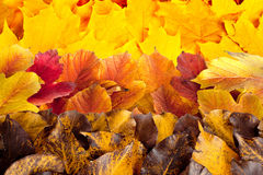 Fall maple, hawthorn and viburnum  leaves Royalty Free Stock Photography
