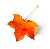 Fall maple leaf Royalty Free Stock Photos
