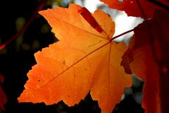 Fall maple leaf. Backlit fall maple leaf in a forest Stock Photo