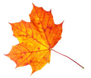 Fall Maple Leaf Stock Photography