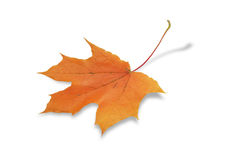 Fall Maple Leaf Stock Photo