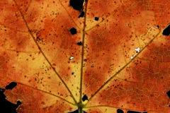 Fall Maple Leaf. Beautiful autumn maple leaf on the black background Stock Image