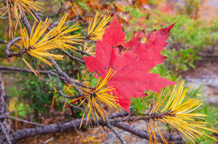 Fall maple leaf caught in pine. A red maple leaf caught in the branches of a pine tree Royalty Free Stock Photography
