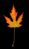 Fall Maple leaf with clipping path Royalty Free Stock Images