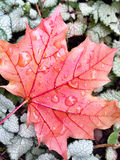 Fall Maple Leaf with Dew Royalty Free Stock Image