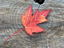 Fall maple leaf Royalty Free Stock Image