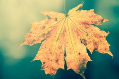 Fall maple  leaf macro selective focus. Bac klit Royalty Free Stock Images